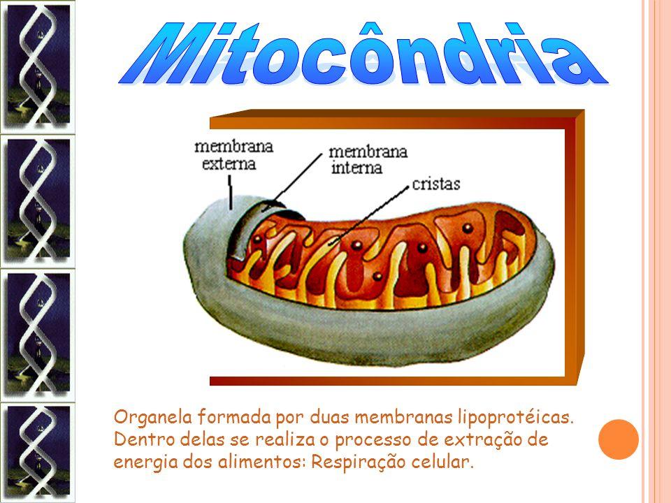 Organela formada por duas membranas lipoprotéicas. Dentro delas se realiza o processo de extração de energia dos alimentos: Respiração celular.
