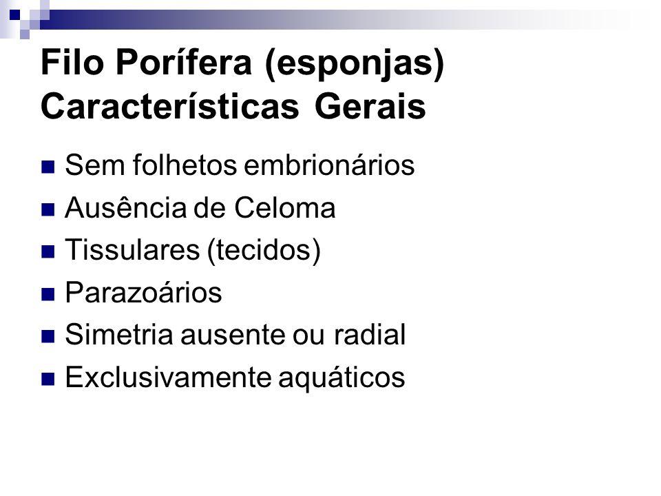 Filo Porífera (esponjas) Características Gerais Sem folhetos embrionários Ausência de Celoma Tissulares (tecidos) Parazoários Simetria ausente ou radi