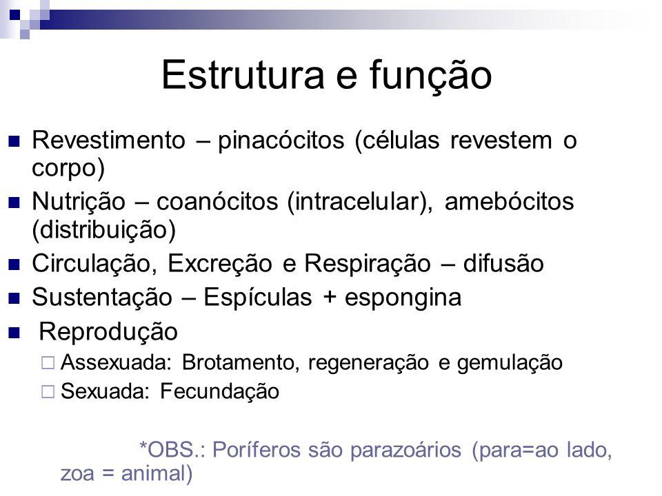 Estrutura e função Revestimento – pinacócitos (células revestem o corpo) Nutrição – coanócitos (intracelular), amebócitos (distribuição) Circulação, E
