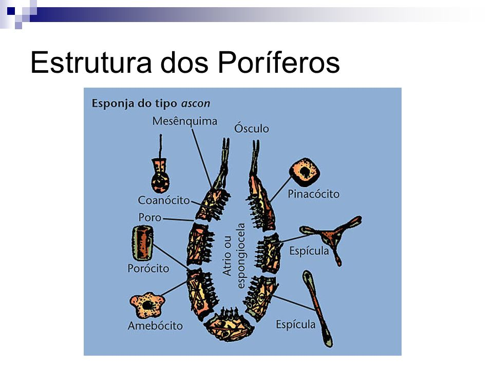Estrutura dos Poríferos