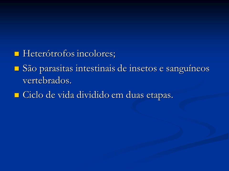 Heterótrofos incolores; Heterótrofos incolores; São parasitas intestinais de insetos e sanguíneos vertebrados.