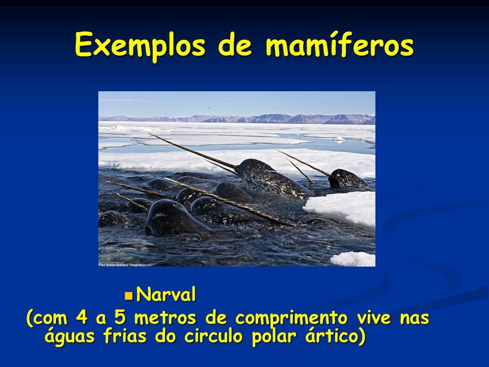 Exemplos de mamíferos Narval Narval (com 4 a 5 metros de comprimento vive nas águas frias do circulo polar ártico)