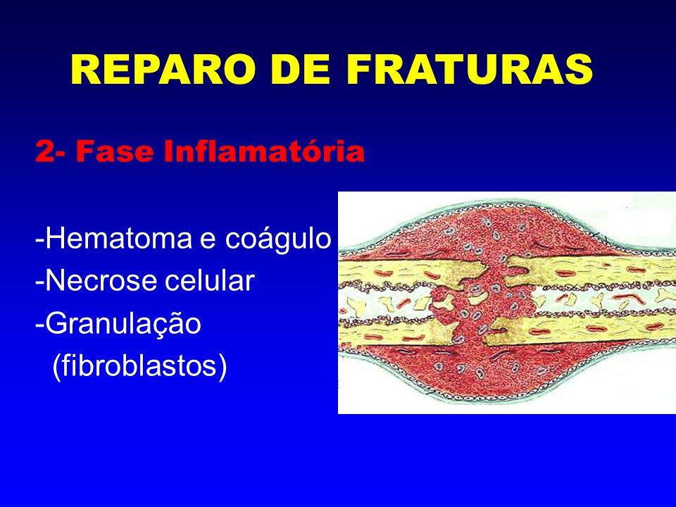 3- Proliferação periosteal e endosteal -alta atividade fibroblástica -diferenciação em osteoblastos e condroblastos REPARO DE FRATURAS