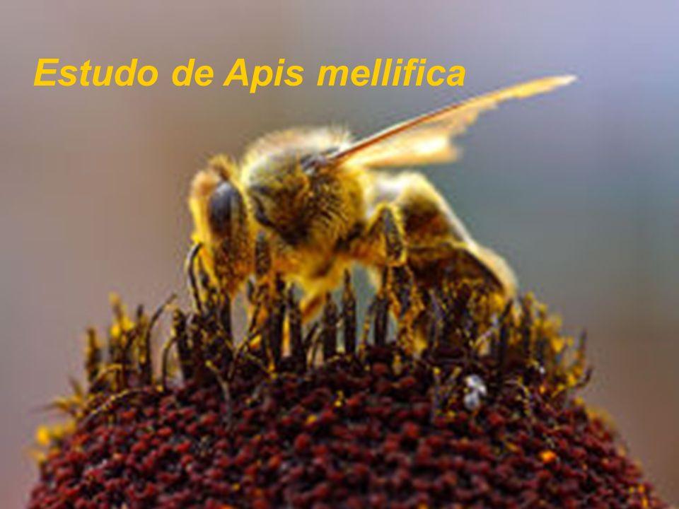 Insecta Aphis,apis, blatta, cantharis, cimex, coccus- cacti, coccinella, culex, doryphora, formica, (h)oplium, pediculus, pulex, scolopendrium, trombidium, vespa.