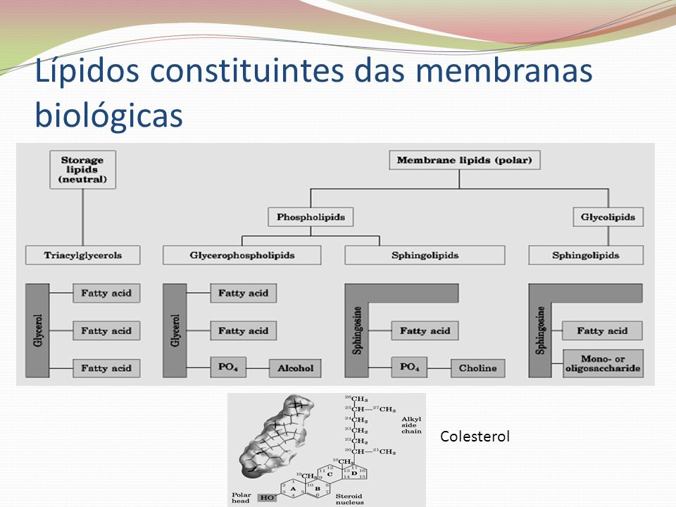 Lípidos constituintes das membranas biológicas Colesterol