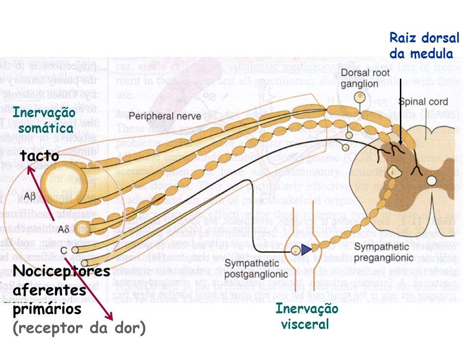 Localização da dor (visceral) dependente da origem embriológica intestinal: foregut (faringe, esófago, estômago e duodeno proximal) no epigastro, midgut (4ª porção duodenal, intestino delgado até cólon tranverso; artéria mesentérica superior) na região periumbilical, hindgut (cólon distal e recto; artéria mesentérica inferior) na região suprapúbica.