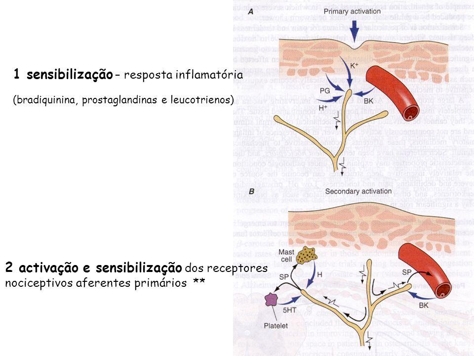 1 sensibilização – resposta inflamatória (bradiquinina, prostaglandinas e leucotrienos) 2 activação e sensibilização dos receptores nociceptivos afere