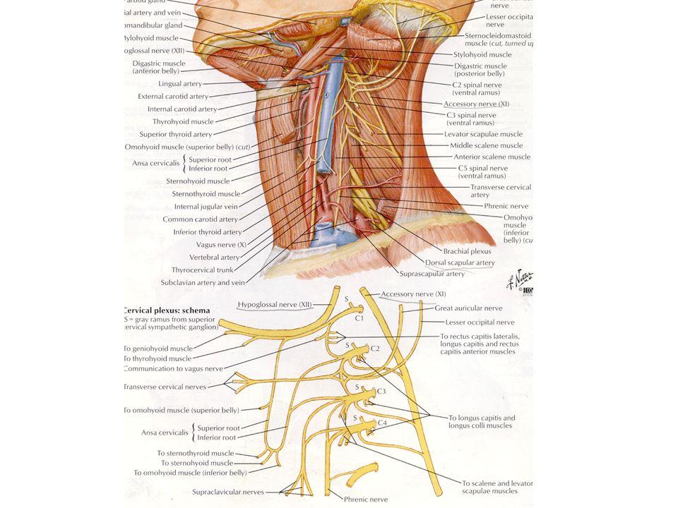 Dor referida Raiz dorsal da medula sinapses
