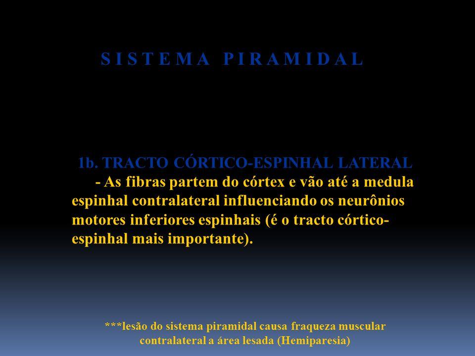 1b. TRACTO CÓRTICO-ESPINHAL LATERAL - As fibras partem do córtex e vão até a medula espinhal contralateral influenciando os neurônios motores inferior