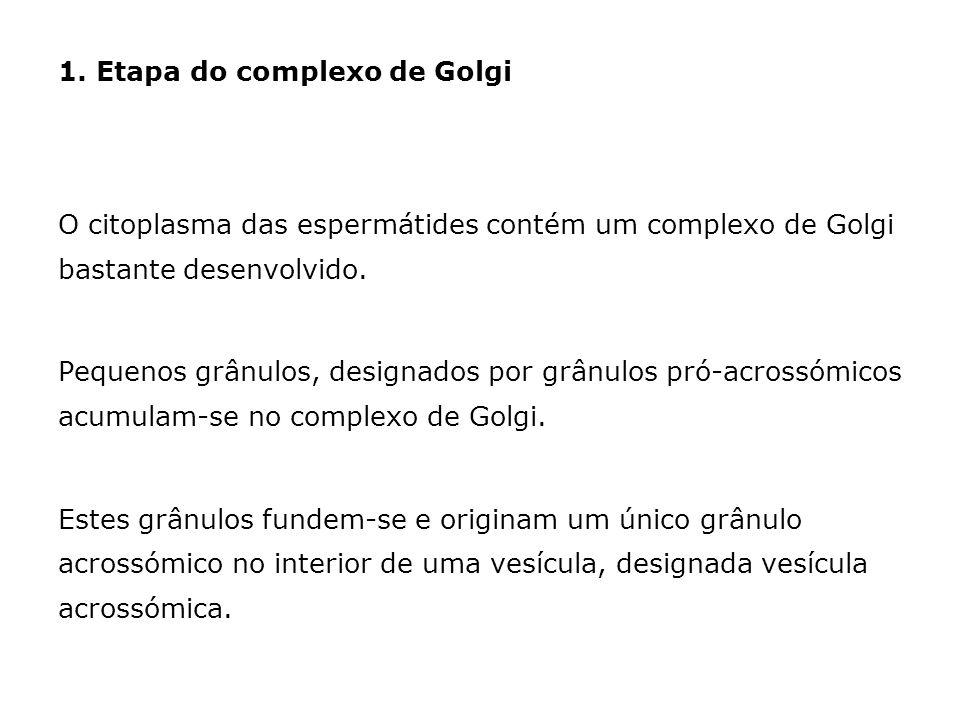 1. Etapa do complexo de Golgi O citoplasma das espermátides contém um complexo de Golgi bastante desenvolvido. Pequenos grânulos, designados por grânu