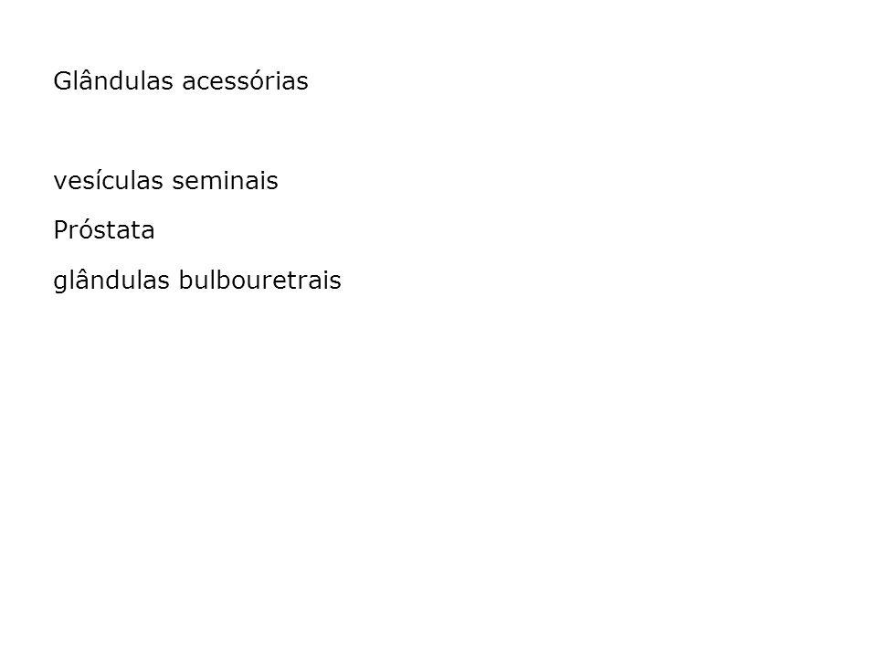 Glândulas acessórias vesículas seminais Próstata glândulas bulbouretrais