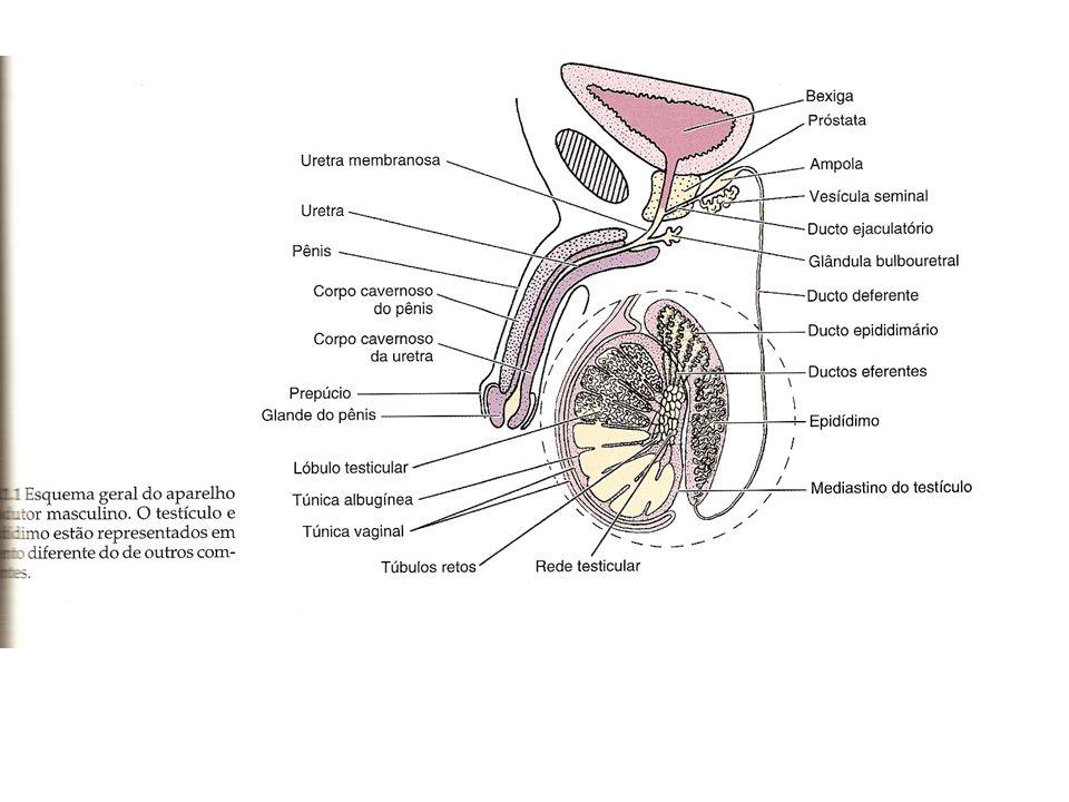 Os túbulos seminíferos são formados por um epitélio germinativo ou epitélio seminífero, que é envolvido por uma lâmina basal e por uma bainha de tecido conjuntivo.
