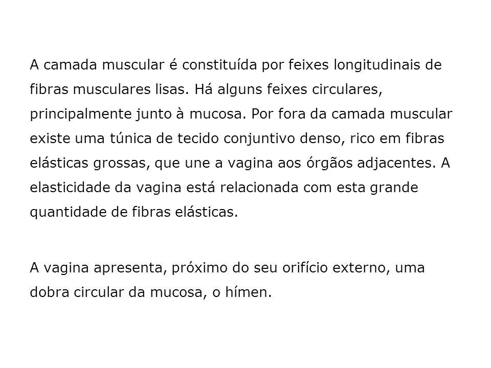 A camada muscular é constituída por feixes longitudinais de fibras musculares lisas. Há alguns feixes circulares, principalmente junto à mucosa. Por f