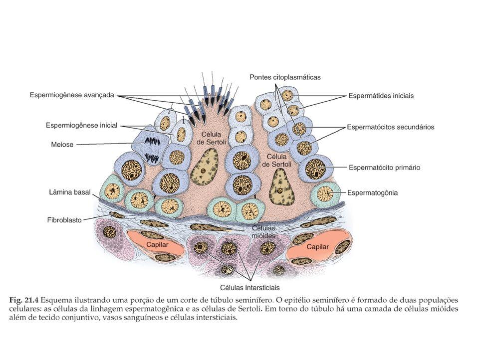 A produção de espermatozóides é designada por espermatogénese.