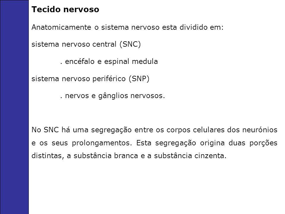 Tecido nervoso Anatomicamente o sistema nervoso esta dividido em: sistema nervoso central (SNC).