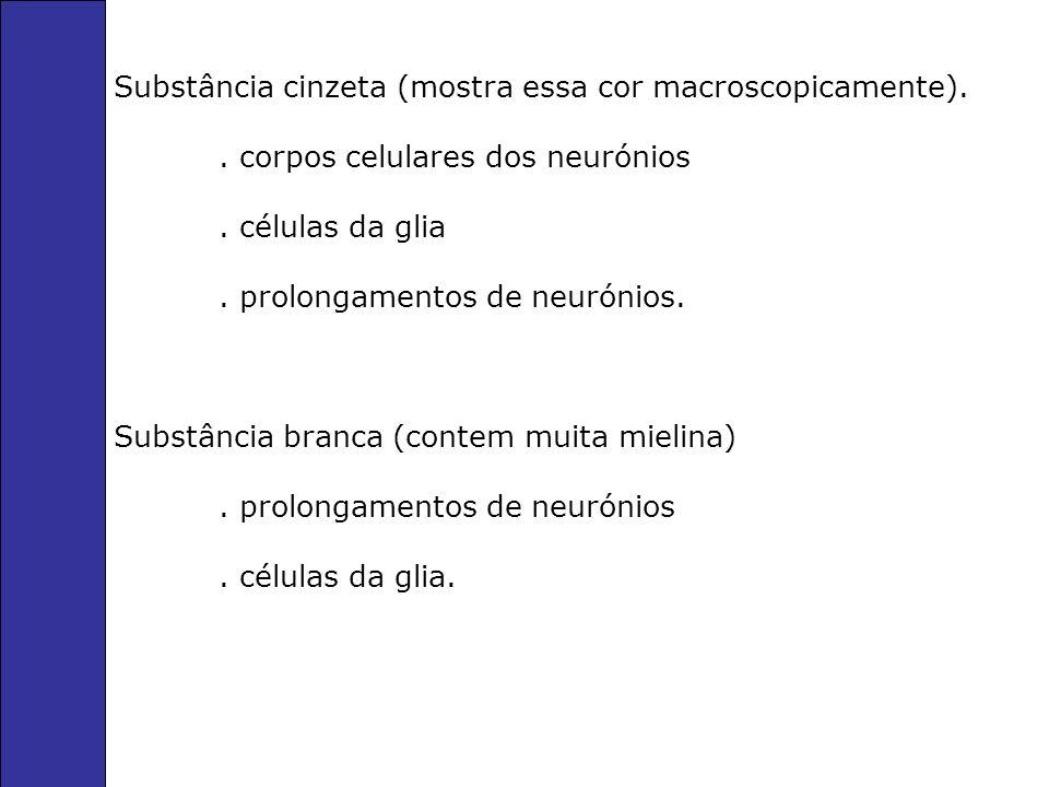 Substância cinzeta (mostra essa cor macroscopicamente)..