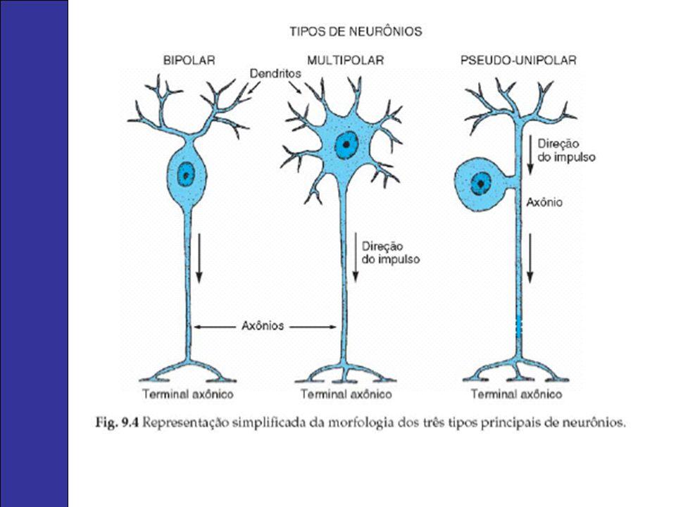 Espinal medula A substância branca localiza-se externamente e a substância cinzenta internamente, com a forma de letra H.