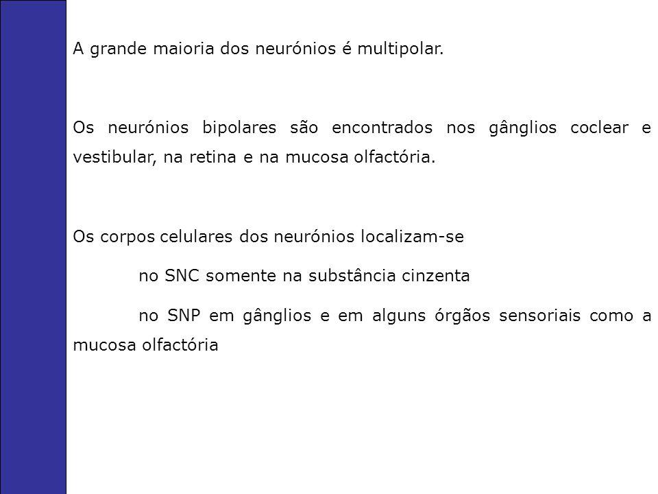 A grande maioria dos neurónios é multipolar.