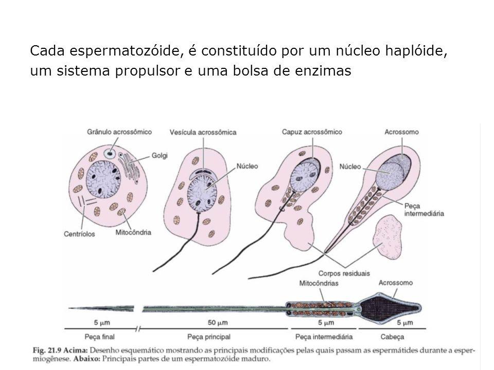 Cada espermatozóide, é constituído por um núcleo haplóide, um sistema propulsor e uma bolsa de enzimas
