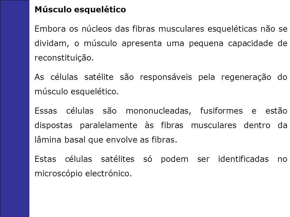 Músculo esquelético Embora os núcleos das fibras musculares esqueléticas não se dividam, o músculo apresenta uma pequena capacidade de reconstituição.