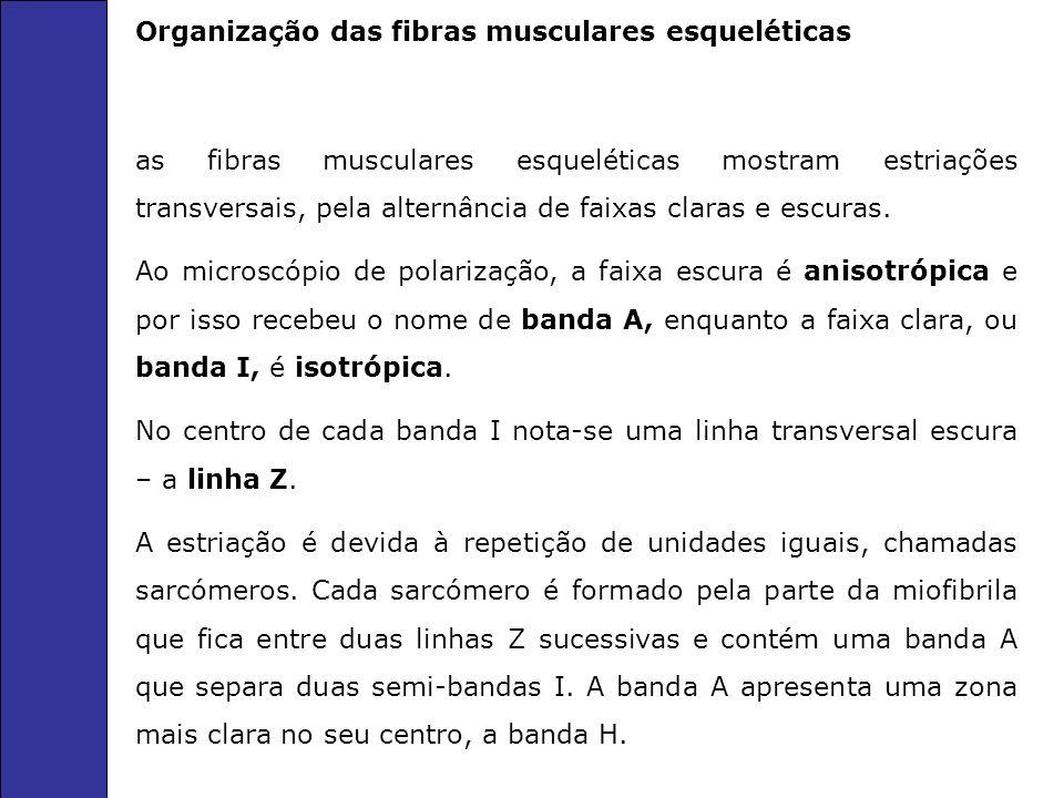 Organização das fibras musculares esqueléticas as fibras musculares esqueléticas mostram estriações transversais, pela alternância de faixas claras e