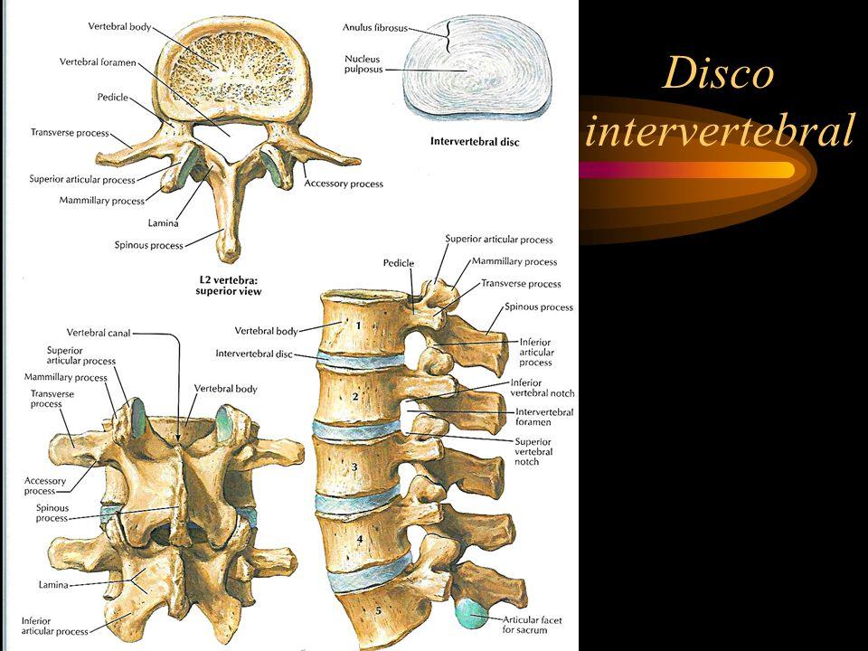 Funções do disco intervertebral 1)Funções dependentes do núcleo pulposo: a)Absorção de choques -A nossa coluna tem uma elasticidade marcada, que lhe é conferida pelos discos.