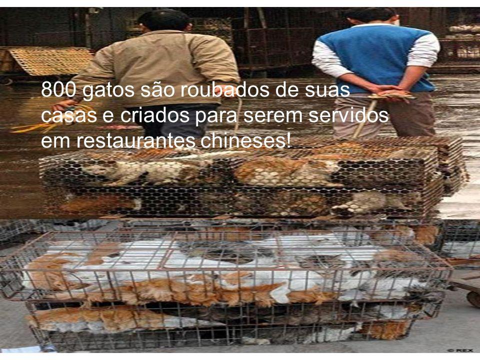 800 gatos são roubados de suas casas e criados para serem servidos em restaurantes chineses!
