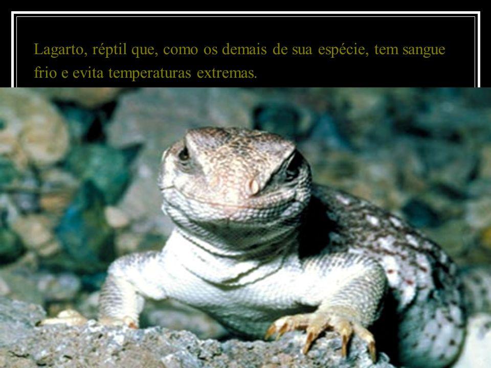 Lagarto, réptil que, como os demais de sua espécie, tem sangue frio e evita temperaturas extremas.