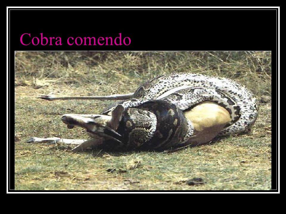 Cobra comendo