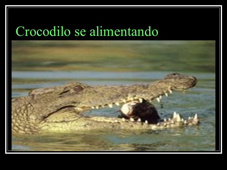Crocodilo se alimentando