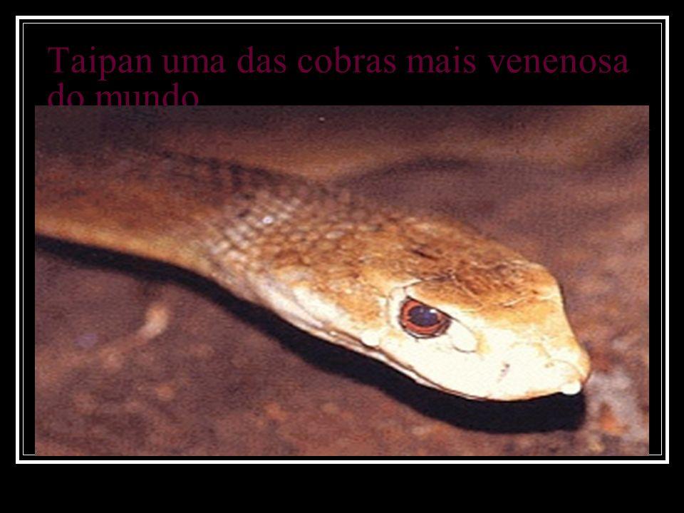 Taipan uma das cobras mais venenosa do mundo