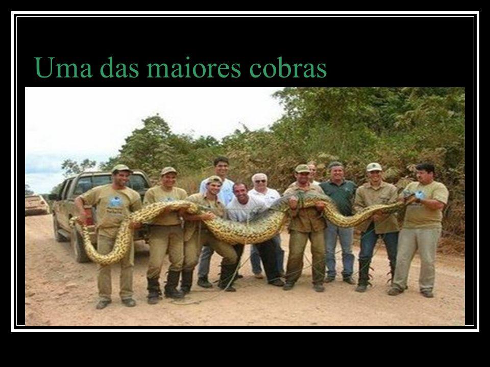Uma das maiores cobras