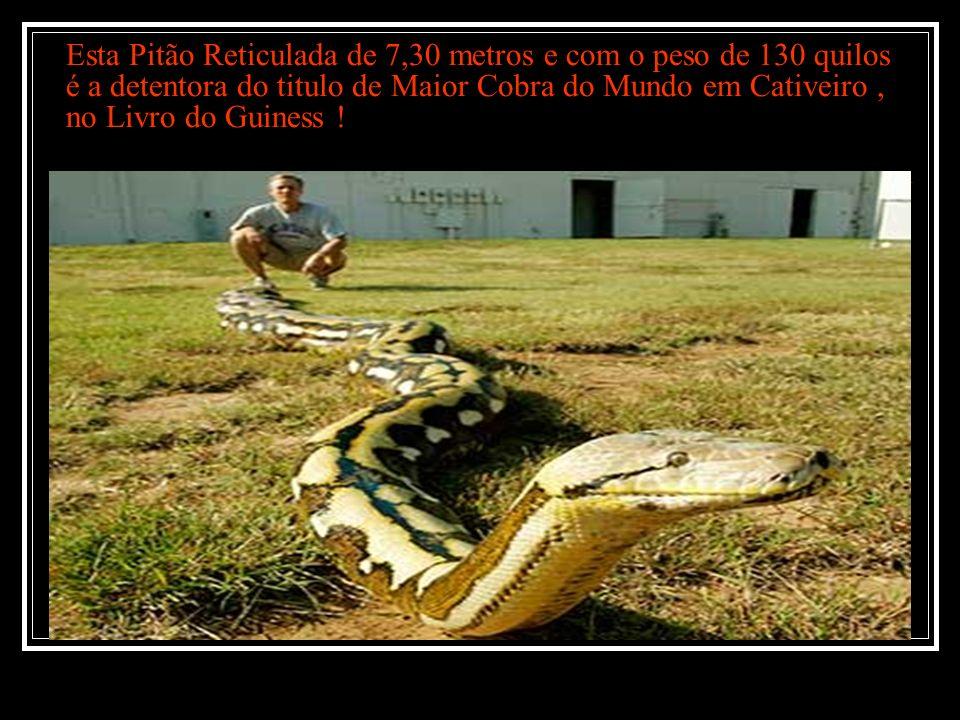 Esta Pitão Reticulada de 7,30 metros e com o peso de 130 quilos é a detentora do titulo de Maior Cobra do Mundo em Cativeiro, no Livro do Guiness !