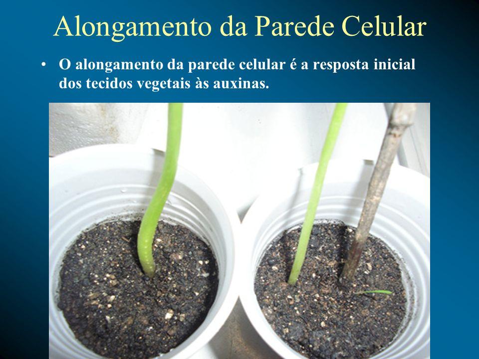 Alongamento da Parede Celular O alongamento da parede celular é a resposta inicial dos tecidos vegetais às auxinas.