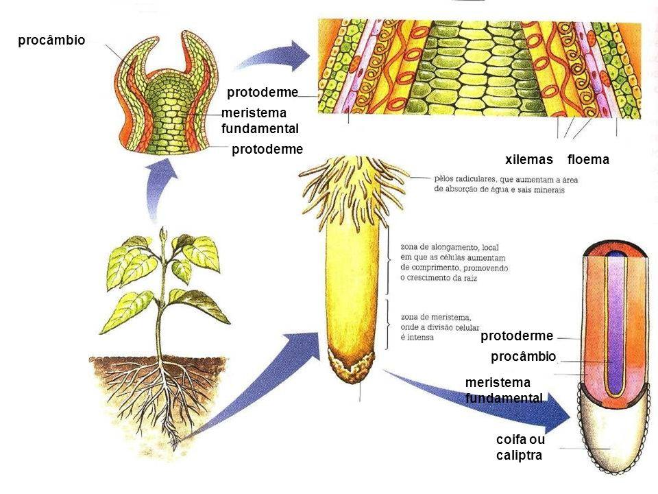 floemaxilemas procâmbio meristema fundamental protoderme coifa ou caliptra meristema fundamental procâmbio protoderme