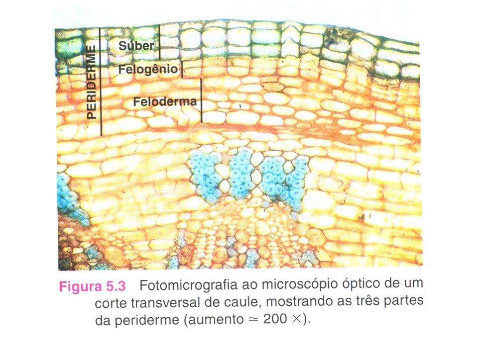 Tecidos de preenchimento ou parênquimas Parênquima clorofiliano ou assimilador Parênquima amilífero ou de reserva Parênquima aerífero ou aerênquima Parênquima aquífero Realiza a fotossíntese, e por isso é mais abundante nas folhas e nos caules verdes; É um parênquima que armazena reservas principalmente na forma de amido.