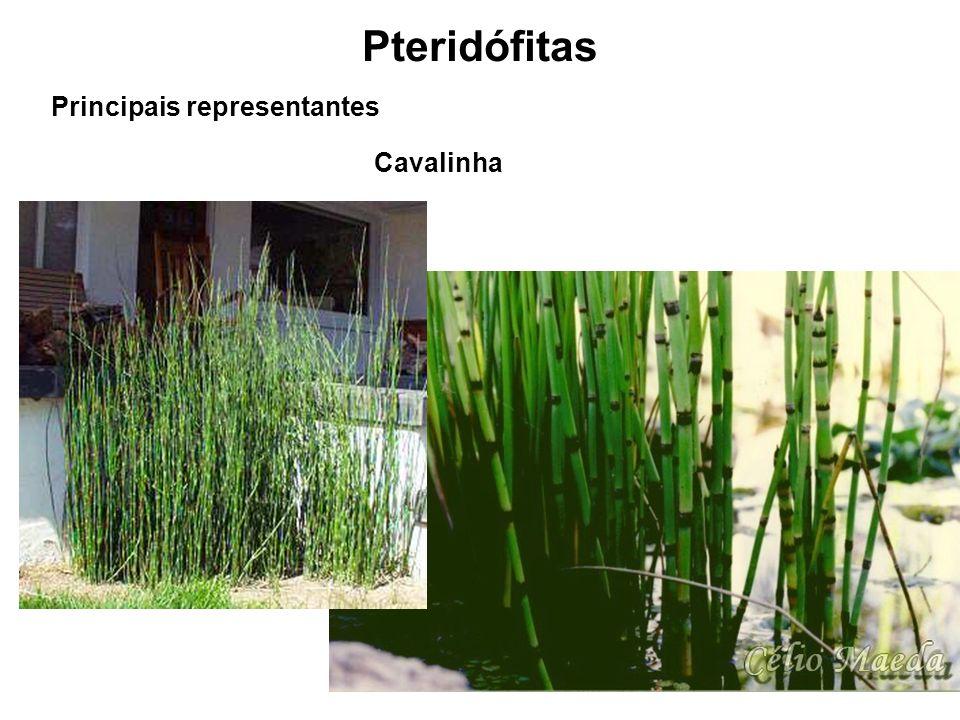 Pteridófitas Principais representantes Cavalinha