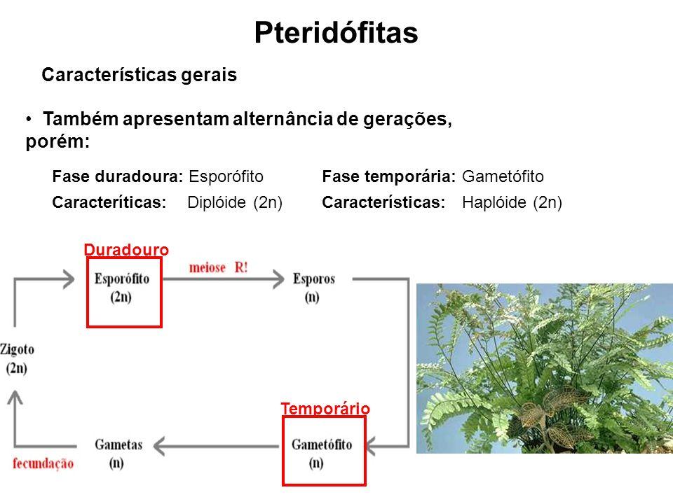 Pteridófitas Características gerais Também apresentam alternância de gerações, porém: Fase duradoura: Esporófito Caracteríticas: Diplóide (2n) Fase temporária: Gametófito Características: Haplóide (2n) Temporário Duradouro