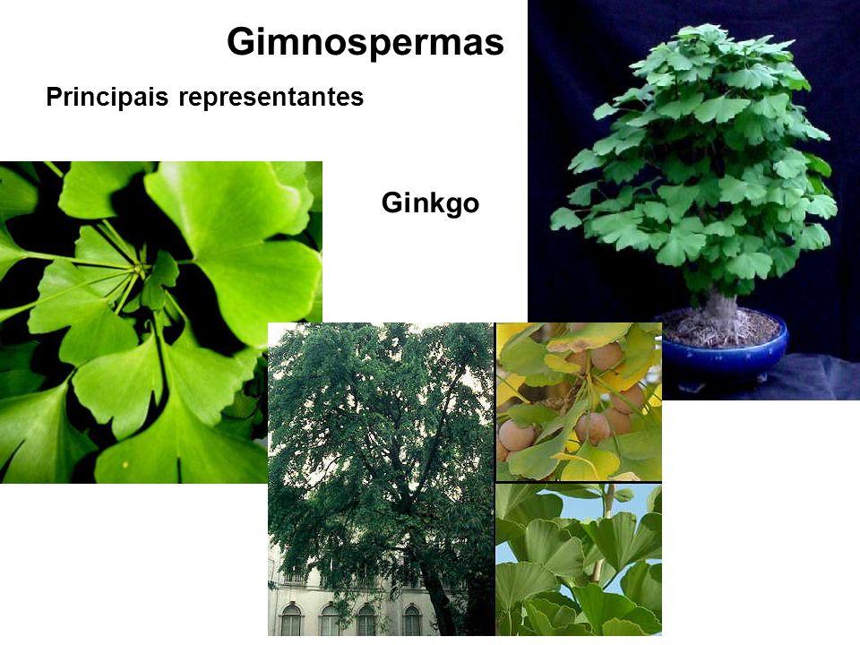 Gimnospermas Principais representantes Ginkgo