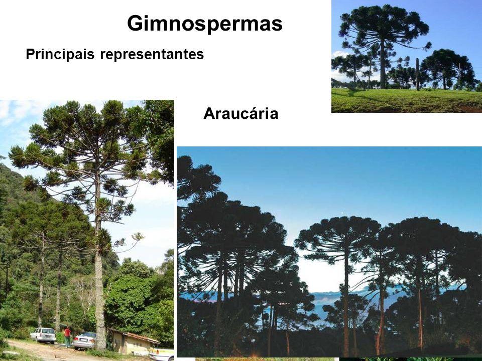 Gimnospermas Principais representantes Araucária
