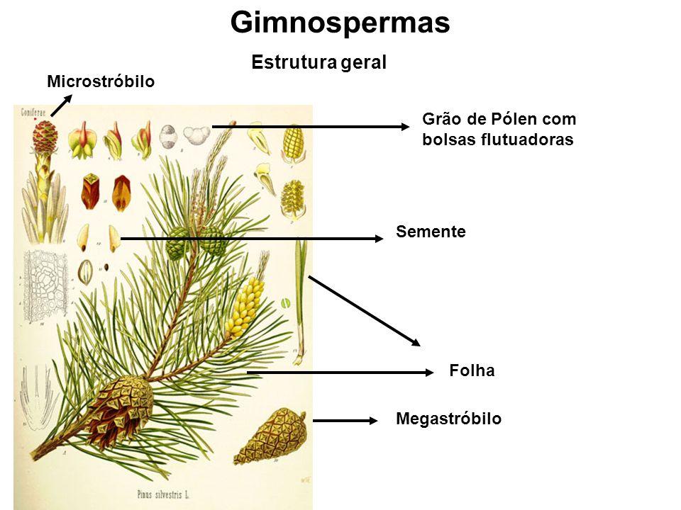 Gimnospermas Estrutura geral Megastróbilo Folha Grão de Pólen com bolsas flutuadoras Microstróbilo Semente