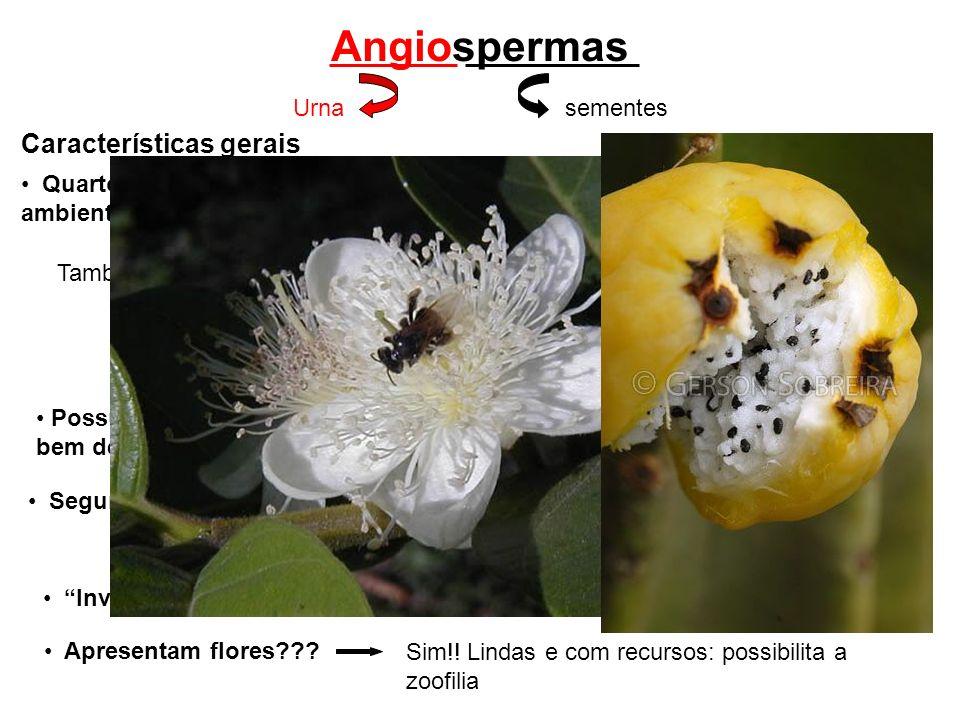 Angiospermas Características gerais Não dependem do vento! Quarto grupo de plantas a evoluir no ambiente terrestre Também são independentes da água!!!