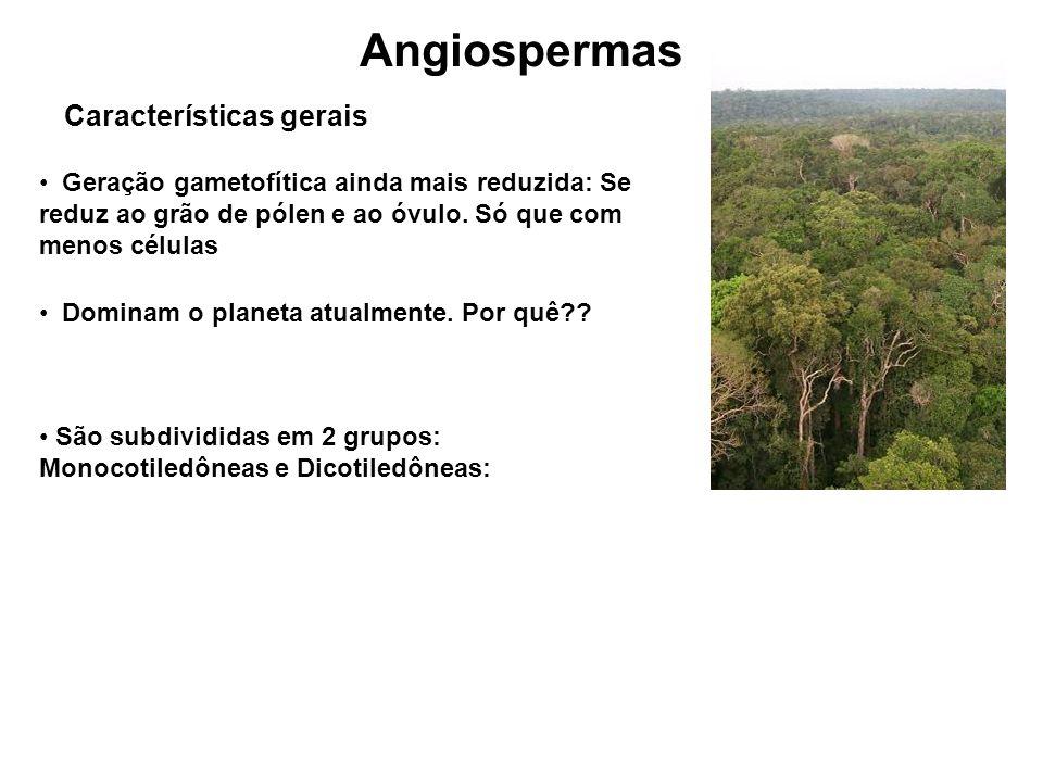 Angiospermas Características gerais Geração gametofítica ainda mais reduzida: Se reduz ao grão de pólen e ao óvulo.