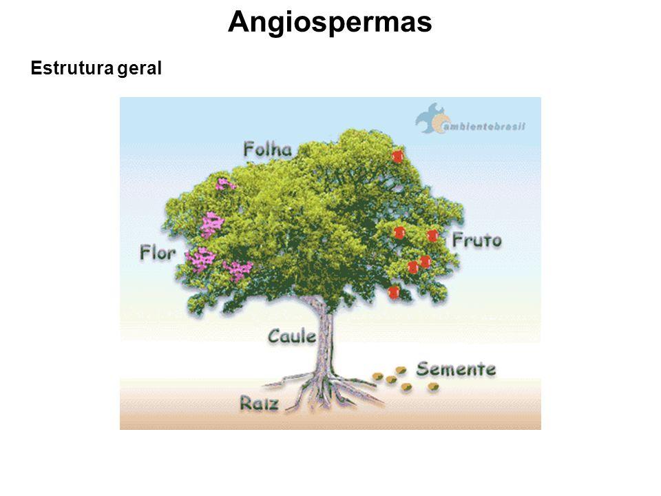 Angiospermas Estrutura geral