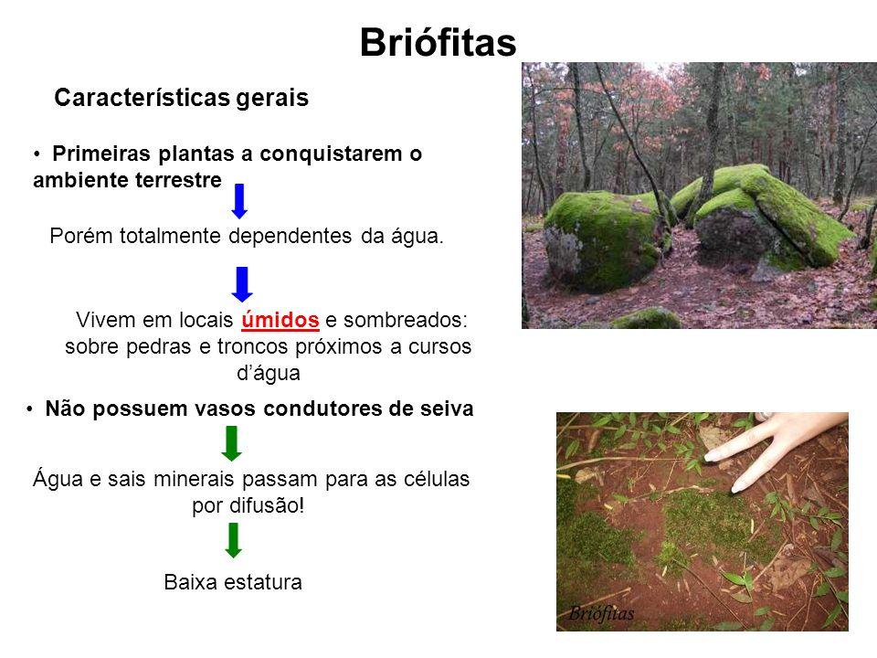 Briófitas Características gerais Porém totalmente dependentes da água. Vivem em locais úmidos e sombreados: sobre pedras e troncos próximos a cursos d