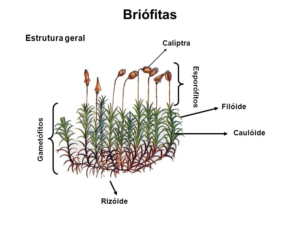 Pteridófitas Estrutura geral Rizoma (caule) Raízes Folha (uma) Báculo (Folha jovens) Soros (Esporângios)