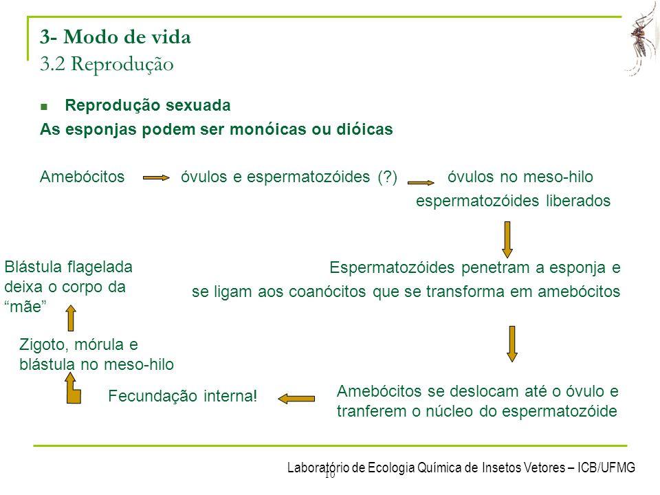 Laboratório de Ecologia Química de Insetos Vetores – ICB/UFMG 10 3- Modo de vida 3.2 Reprodução Reprodução sexuada As esponjas podem ser monóicas ou d