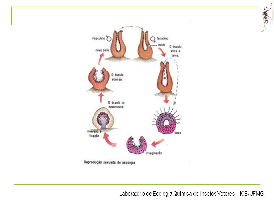 Laboratório de Ecologia Química de Insetos Vetores – ICB/UFMG 11