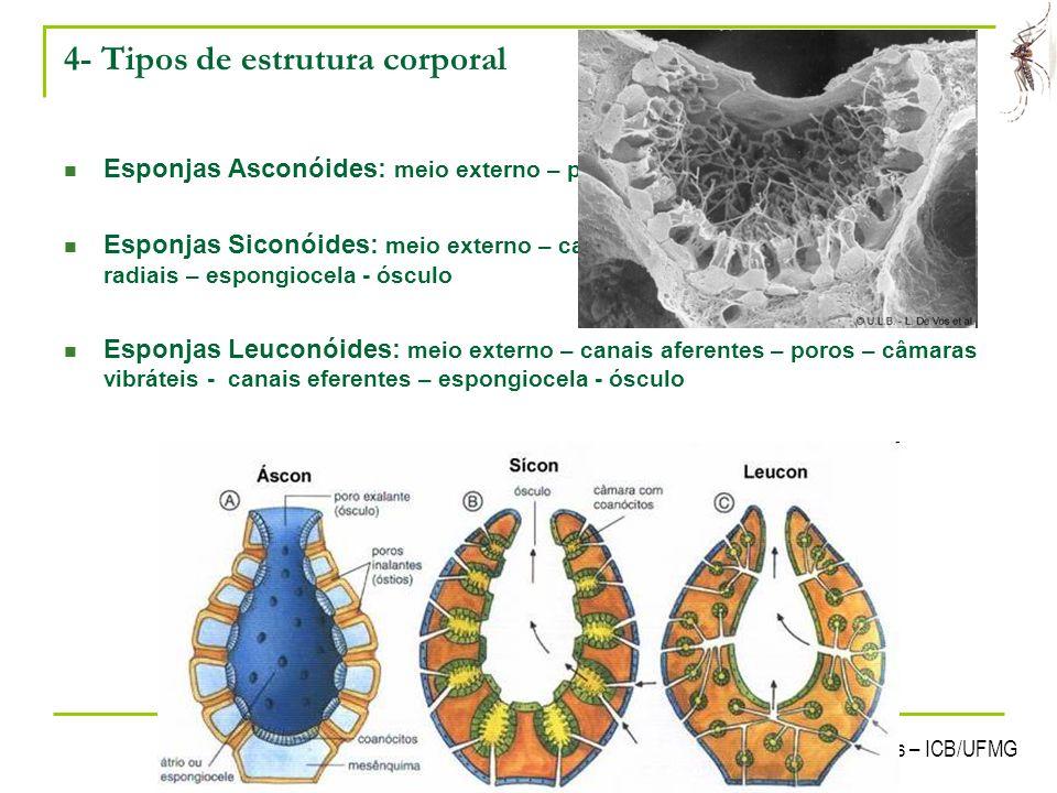 Laboratório de Ecologia Química de Insetos Vetores – ICB/UFMG 12 4- Tipos de estrutura corporal Esponjas Asconóides: meio externo – poros – espongioce