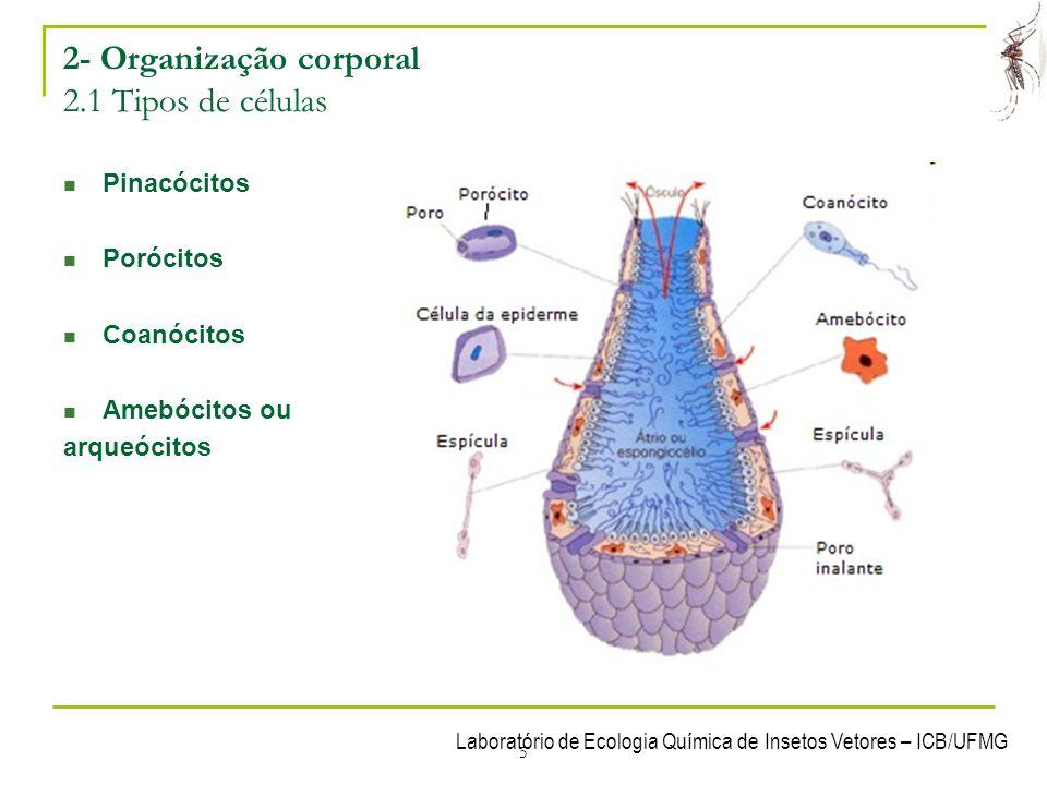 5 2- Organização corporal 2.1 Tipos de células Pinacócitos Porócitos Coanócitos Amebócitos ou arqueócitos